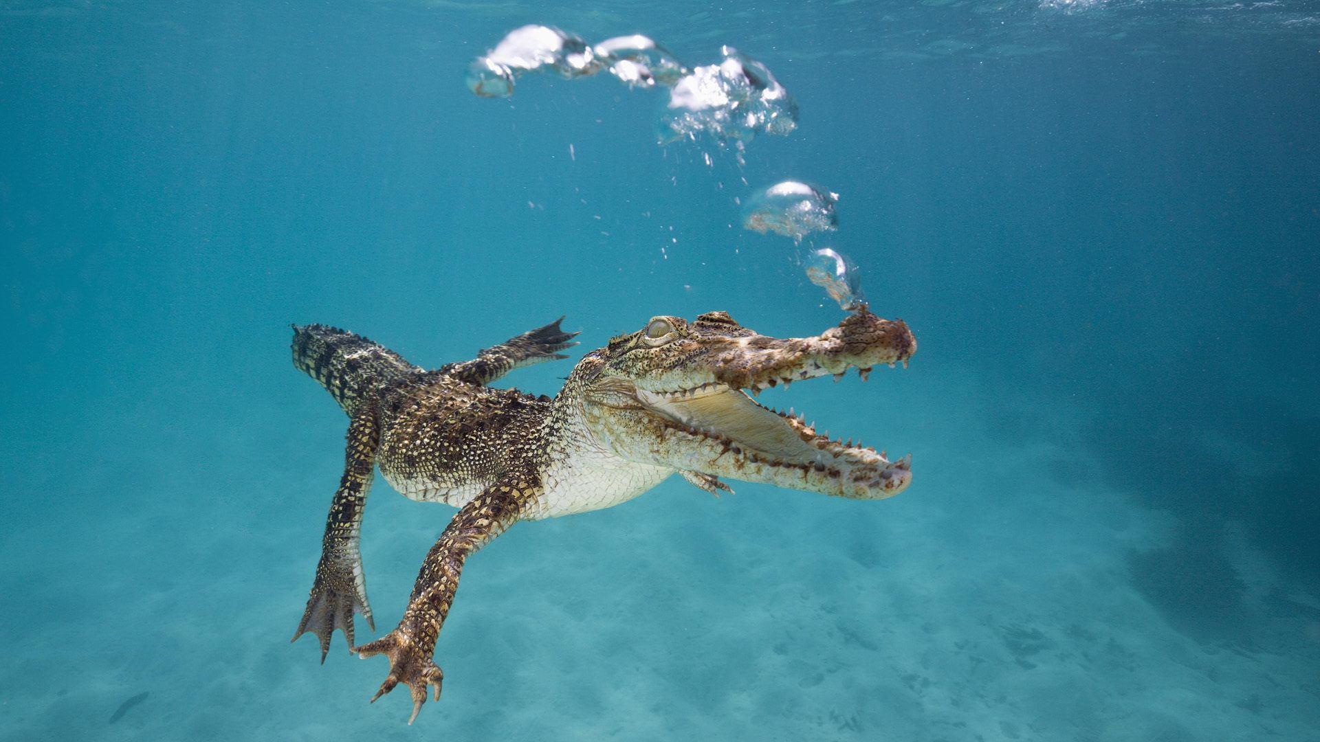 鳄鱼有天敌吗?